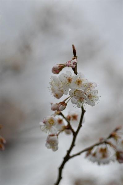 三桜 掲示板